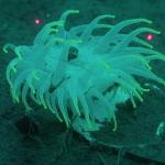 Фосфорисцирующая актиния