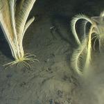 Поимка морской лилии